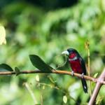 _DSC3974-Black-and-red Broadbill (Cymbirhynchus macrorhynchos)_1