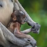 _DSC8434-Proboscis monkey (Nasalis larvatus)