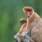 _DSC8517-Proboscis monkey (Nasalis larvatus)